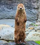 sleepy-river-otter-caught-off-guard-20670412